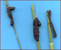 Diseased armyworm larvae on corn. Photo courtesy of Matt Montgomery, UI Extension