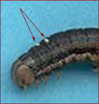 Tachinid eggs on armyworm larvae. Photo courtesy of Matt Montgomery, UI Extension