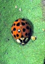 Spotted Lady Beetle Adult