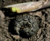 Black Cutworm Larva