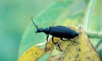 Black Blister Beetle Adult