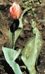 Tulip Fire--a Primary Infector or 'Firehead.'