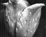 Botrytis Spots on Tulip Flower Petals