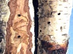Bronze Birch Borer Damage to Birch