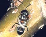 Wasp Parasite of Cottony Maple Scale