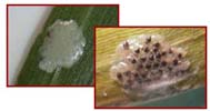 European Corn Borer Eggs