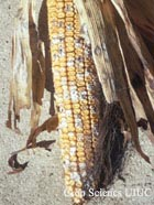 Fusarium Kernel or Ear Rot