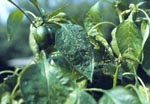 Green Peach Aphid on Pepper Plant
