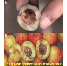 PPV ring pattern symptoms on apricot fruit and stones