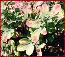 Boron deficiency in alfalfa