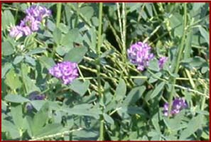 Flowering alfalfa field