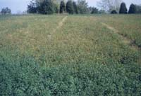 Severe Damage in Alfalfa Field from Spotted Alfalfa Aphid