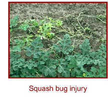 Squash Bug Injury