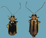 Male and female <br />Western Corn Rootworm