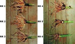 The root rating scale, showing examples of larval root injury